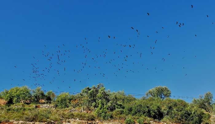 vautours au dessus de la falaise